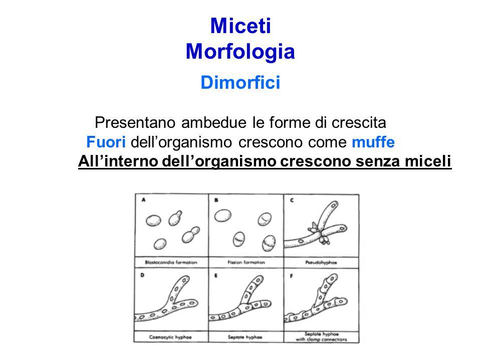 Miceti Morfologia Dimorfici Presentano ambedue le forme di crescita Fuori dell'organismo crescono come muffe All'interno dell'organismo crescono senza