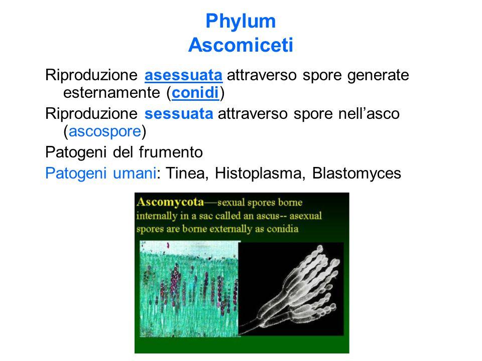 Phylum Ascomiceti Riproduzione asessuata attraverso spore generate esternamente (conidi) Riproduzione sessuata attraverso spore nell'asco (ascospore)
