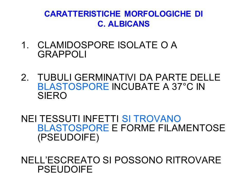 CARATTERISTICHE MORFOLOGICHE DI C. ALBICANS 1.CLAMIDOSPORE ISOLATE O A GRAPPOLI 2.TUBULI GERMINATIVI DA PARTE DELLE BLASTOSPORE INCUBATE A 37°C IN SIE