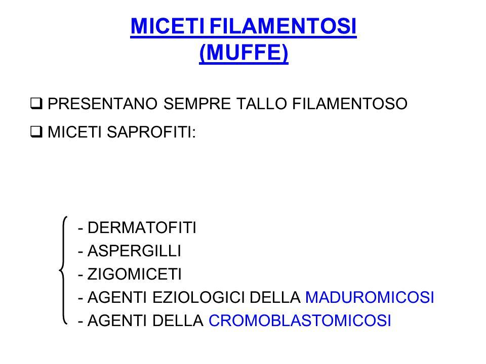 MICETI FILAMENTOSI (MUFFE)  PRESENTANO SEMPRE TALLO FILAMENTOSO  MICETI SAPROFITI: - DERMATOFITI - ASPERGILLI - ZIGOMICETI - AGENTI EZIOLOGICI DELLA