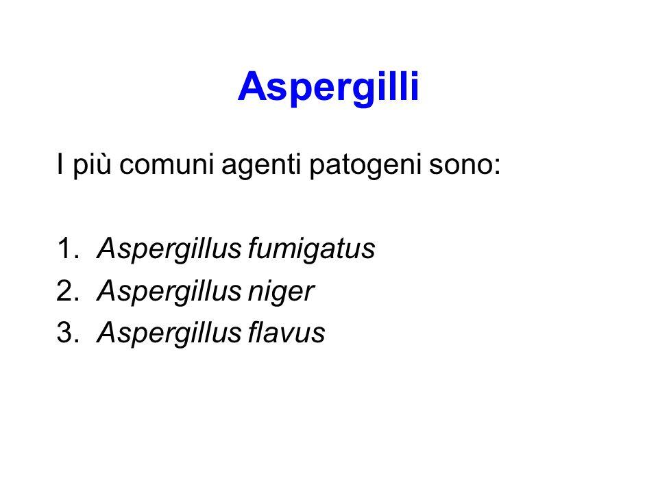 Aspergilli I più comuni agenti patogeni sono: 1. Aspergillus fumigatus 2. Aspergillus niger 3. Aspergillus flavus