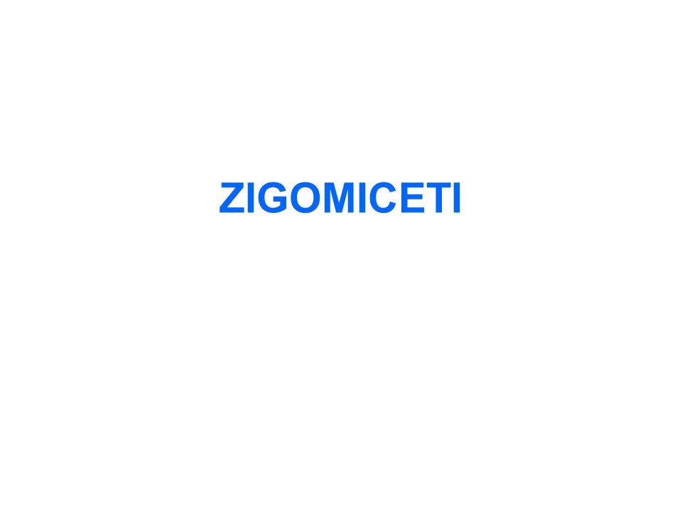 ZIGOMICETI