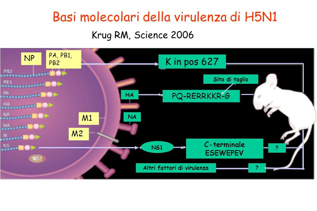 Basi molecolari della virulenza di H5N1 Krug RM, Science 2006 K in pos 627 NS1 PQ-RERRKKR-G Sito di taglio C-terminale ESEWEPEV Altri fattori di virul