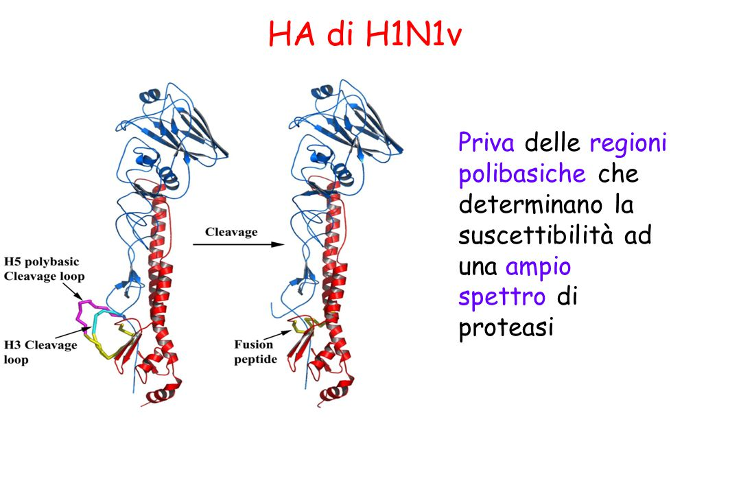 HA di H1N1v Priva delle regioni polibasiche che determinano la suscettibilità ad una ampio spettro di proteasi