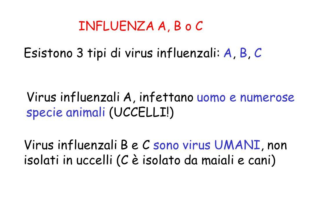 INFLUENZA A, B o C Virus influenzali A, infettano uomo e numerose specie animali (UCCELLI!) Virus influenzali B e C sono virus UMANI, non isolati in u