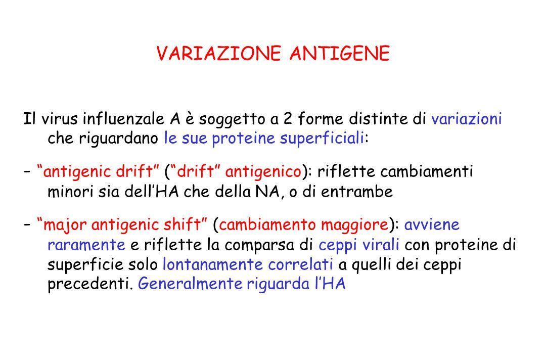 """VARIAZIONE ANTIGENE Il virus influenzale A è soggetto a 2 forme distinte di variazioni che riguardano le sue proteine superficiali: - """"antigenic drift"""