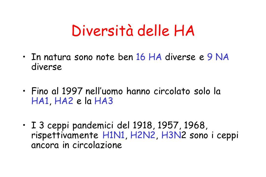 Diversità delle HA In natura sono note ben 16 HA diverse e 9 NA diverse Fino al 1997 nell'uomo hanno circolato solo la HA1, HA2 e la HA3 I 3 ceppi pan