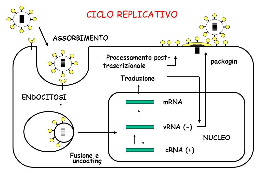 CICLO REPLICATIVO mRNA vRNA (-) cRNA (+) Traduzione Processamento post- trascrizionale packagin NUCLEO Fusione e uncoating ENDOCITOSI ASSORBIMENTO