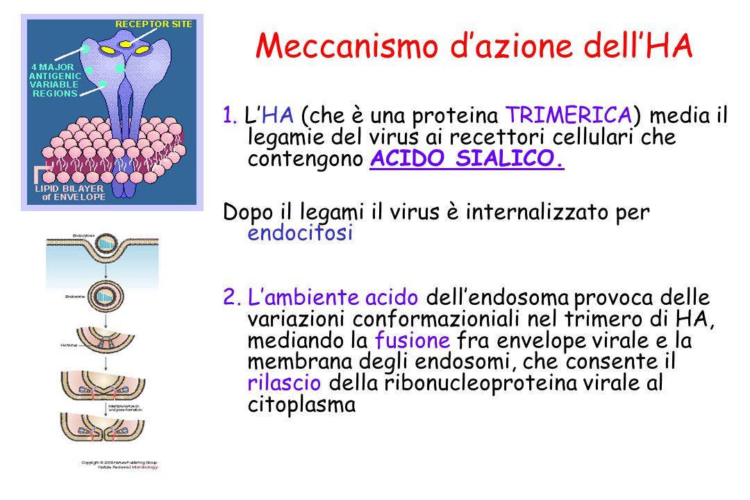 Meccanismo d'azione dell'HA 1. L'HA (che è una proteina TRIMERICA) media il legamie del virus ai recettori cellulari che contengono ACIDO SIALICO. Dop