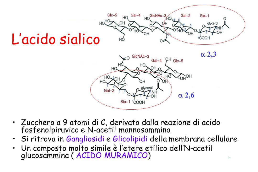 L'acido sialico Zucchero a 9 atomi di C, derivato dalla reazione di acido fosfenolpiruvico e N-acetil mannosammina Si ritrova in Gangliosidi e Glicoli