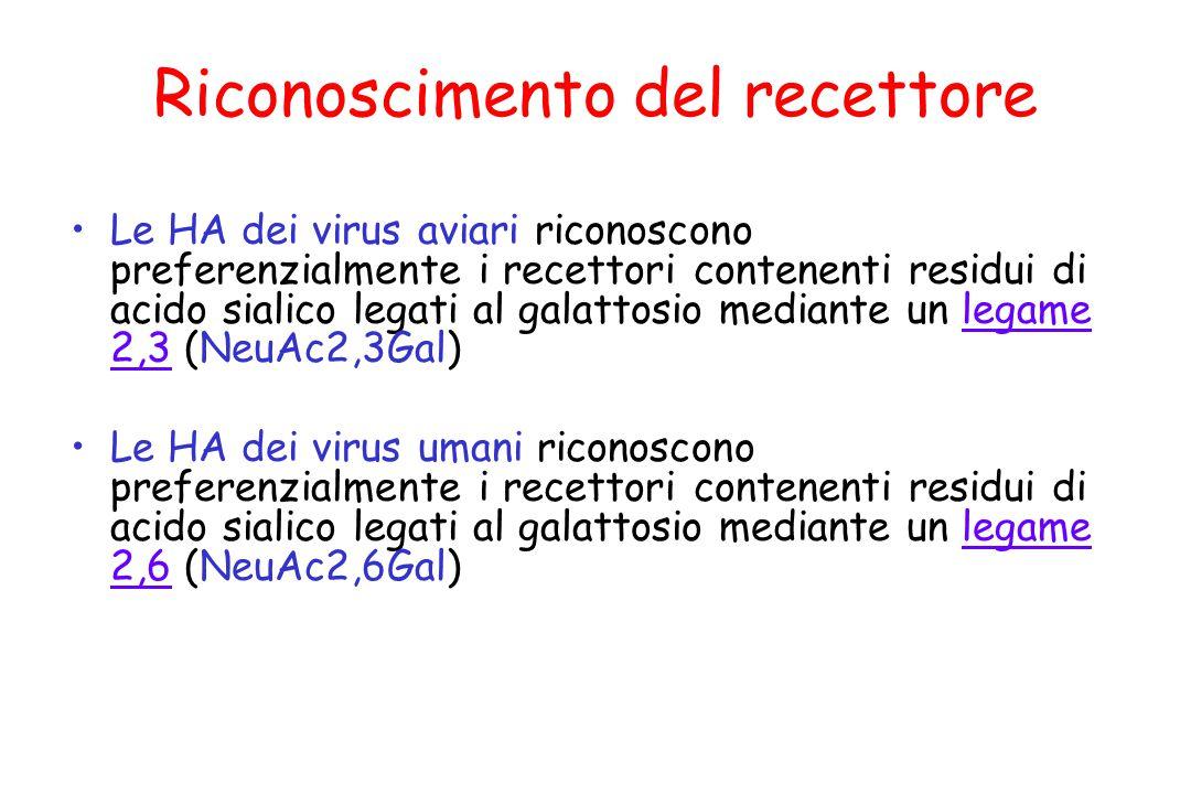 Riconoscimento del recettore Le HA dei virus aviari riconoscono preferenzialmente i recettori contenenti residui di acido sialico legati al galattosio