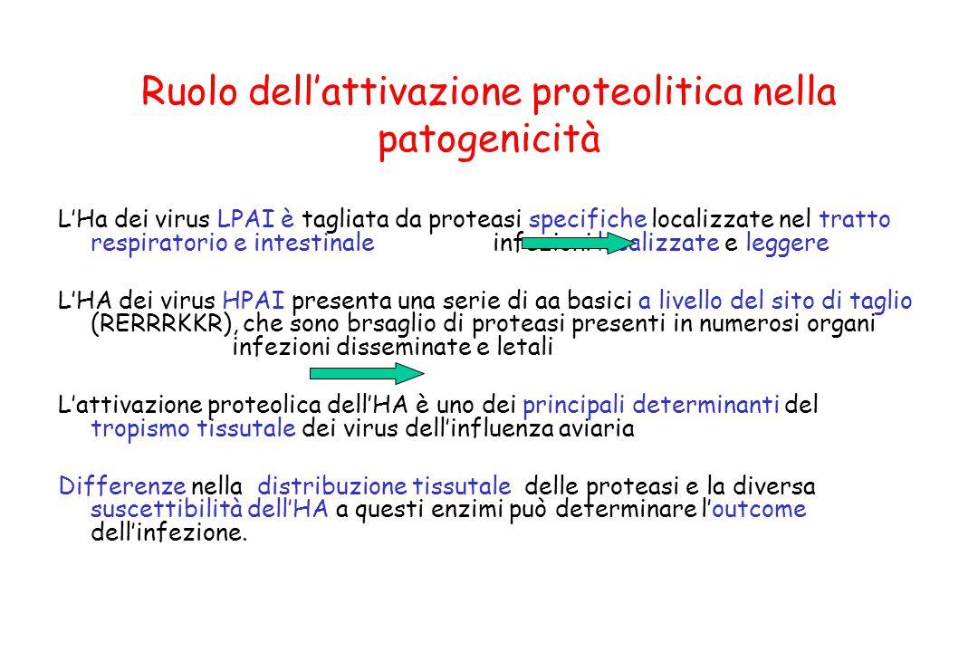 Ruolo dell'attivazione proteolitica nella patogenicità L'Ha dei virus LPAI è tagliata da proteasi specifiche localizzate nel tratto respiratorio e int