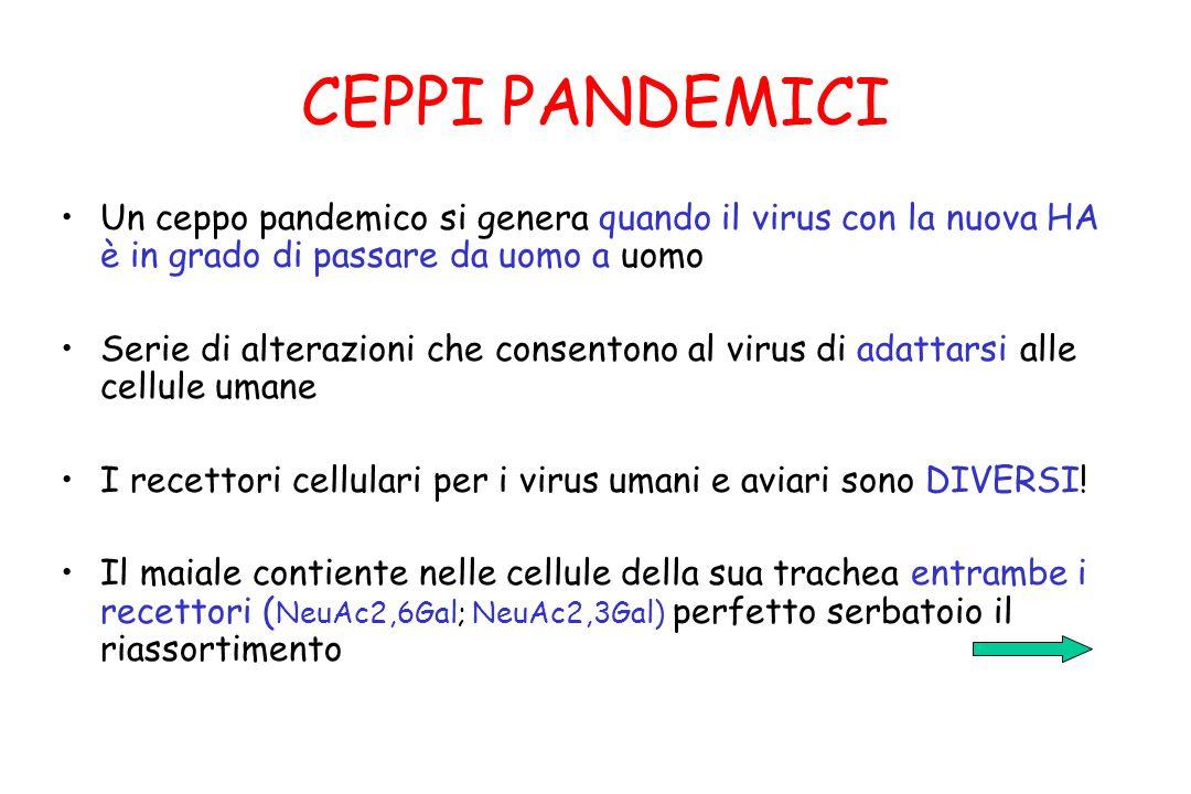 CEPPI PANDEMICI Un ceppo pandemico si genera quando il virus con la nuova HA è in grado di passare da uomo a uomo Serie di alterazioni che consentono