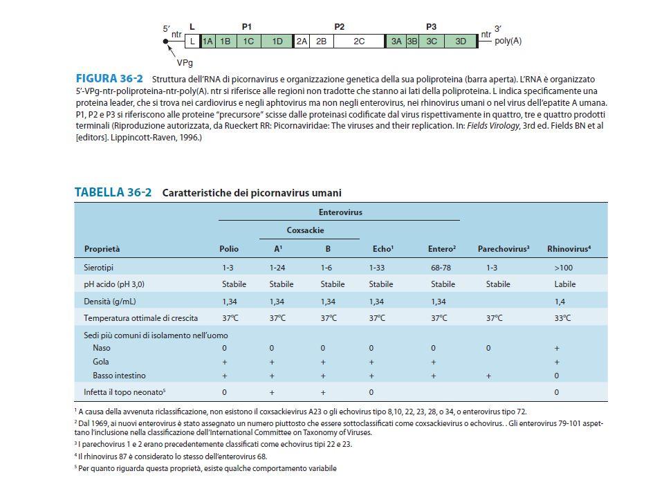 Virus dell'epatite E Virus dell'epatite G