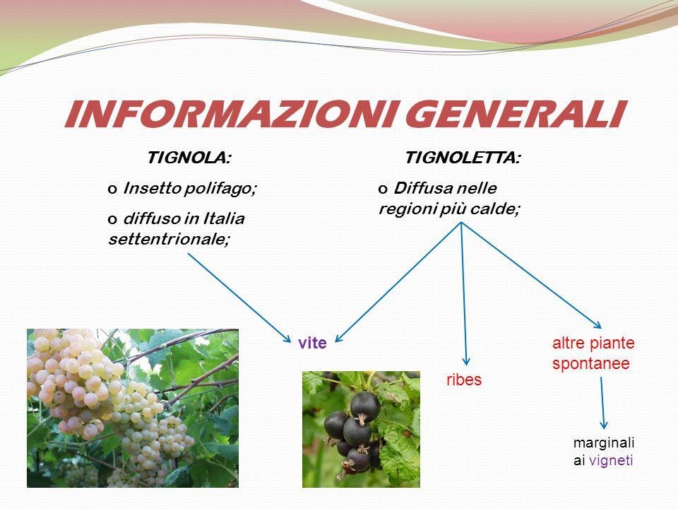 INFORMAZIONI GENERALI TIGNOLA: o Insetto polifago; o diffuso in Italia settentrionale; TIGNOLETTA: o Diffusa nelle regioni più calde; vite ribes altre