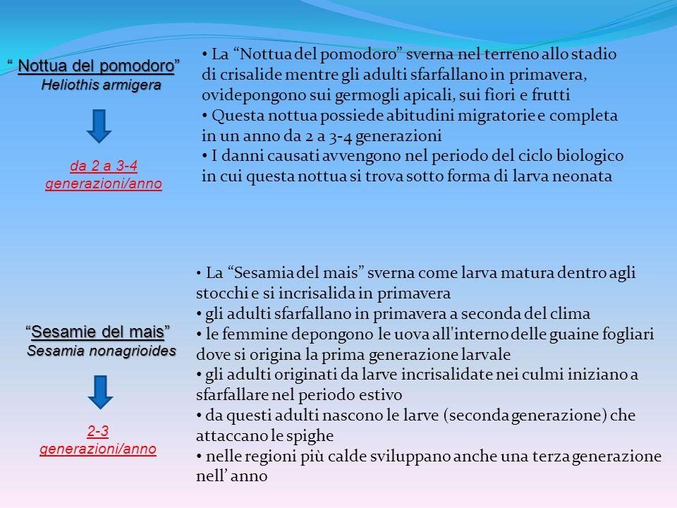 """""""Sesamie del mais"""" Sesamia nonagrioides Sesamia nonagrioides """" Nottua del pomodoro"""" Heliothis armigera Heliothis armigera La """"Nottua del pomodoro"""" sve"""