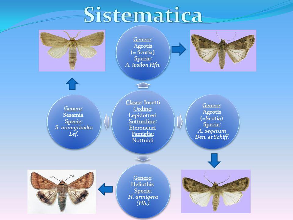 Classe: Insetti Ordine: Lepidotteri Sottordine: Eteroneuri Famiglia: Nottuidi Genere: Agrotis (= Scotia) Specie: A. ipsilon Hfn. Genere: Agrotis (=Sco