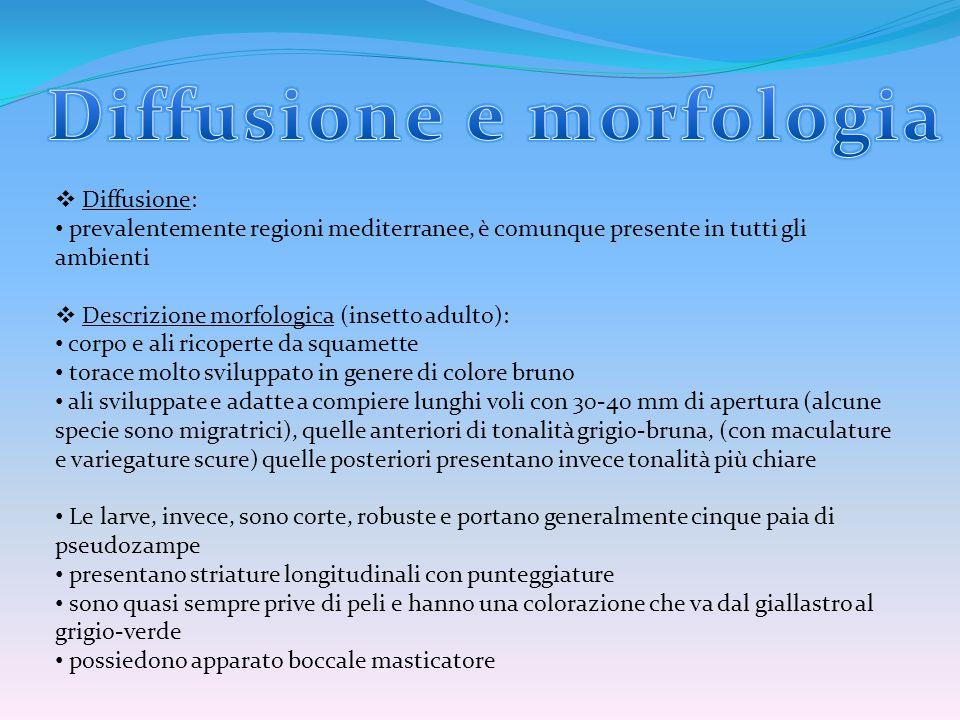  Diffusione: prevalentemente regioni mediterranee, è comunque presente in tutti gli ambienti  Descrizione morfologica (insetto adulto): corpo e ali