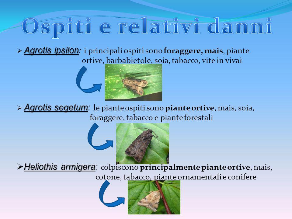 Agrotis ipsilon  Agrotis ipsilon : i principali ospiti sono foraggere, mais, piante ortive, barbabietole, soia, tabacco, vite in vivai Agrotis segetu