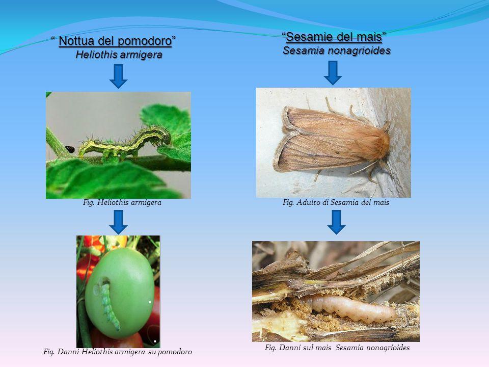 Nottua dei seminati Agrotis ipsilon Agrotis ipsilon Nottua delle messi Agrotis segetum Agrotis segetum L Agrotis ipsilon è una nottua soggetta a fasi migratorie stagionali con spostamenti degli adulti da zone secche a zone più umide può svernare come larva o come crisalide gli adulti ovidepongono nel terreno oppure alla base delle piante ospiti; da queste uova si origina la 1a generazione larvale, attiva da fine primavera-inizio estate da queste larve, concluso il ciclo di sviluppo, prende origine la 2a generazione di adulti che sfarfallano in giugno-luglio e che saranno attivi in piena estate a queste due generazioni può seguire, a seconda delle condizioni climatiche, una 3a ed una 4a generazione Gli adulti ovidepongono nel terreno o sulle parti basali delle piante ospiti o delle infestanti, dove le larve neonate iniziano la loro attività sulle giovani foglie; successivamente scendono nella rizosfera dove provocano danni maggiori queste larve maturano in piena estate e gli adulti di questa generazione compaiono da fine giugno questi adulti ovidepongono ed originano una seconda generazione larvale che può svernare oppure originare una 3a generazione (a volte pure una 4a generazione, anche se rara) 2-3 (raramente 4) generazioni all anno 2 generazioni all anno (in particolari condizioni possono divenire 4)