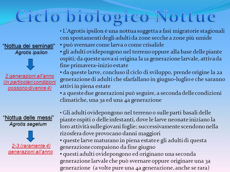 """""""Nottua dei seminati"""" Agrotis ipsilon Agrotis ipsilon """"Nottua delle messi"""" Agrotis segetum Agrotis segetum L'Agrotis ipsilon è una nottua soggetta a f"""
