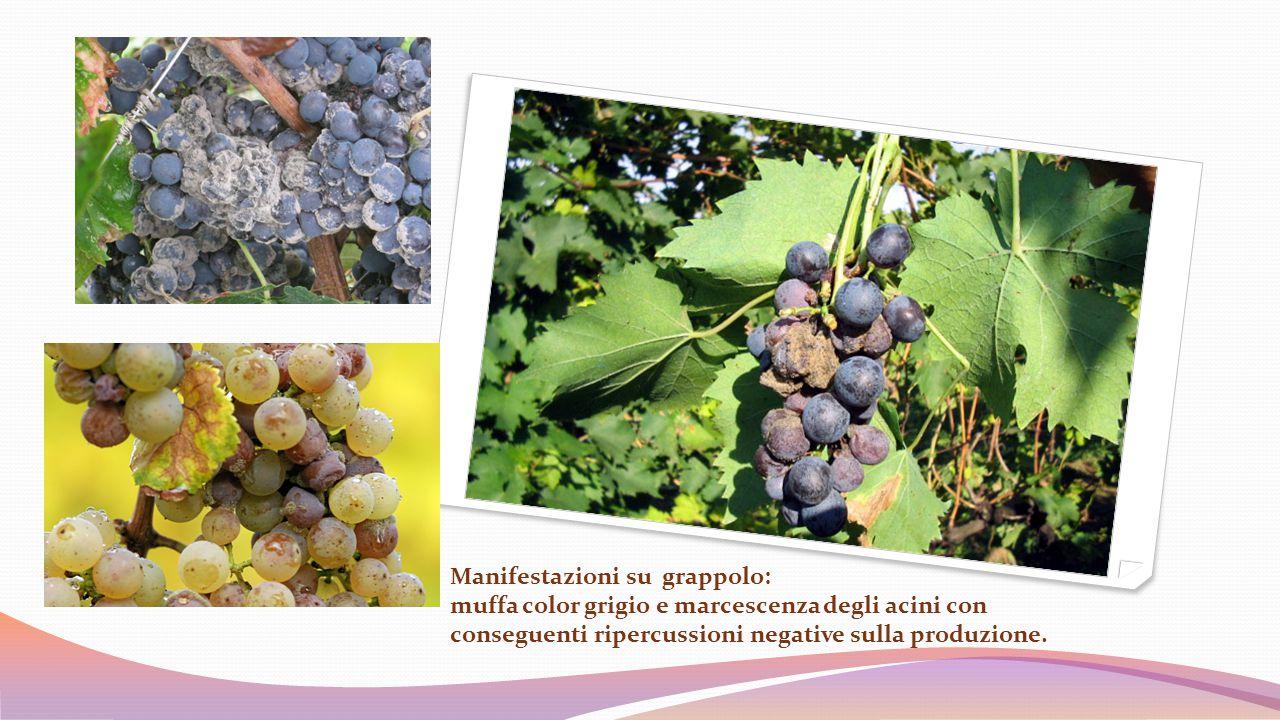 Manifestazioni su grappolo: muffa color grigio e marcescenza degli acini con conseguenti ripercussioni negative sulla produzione.