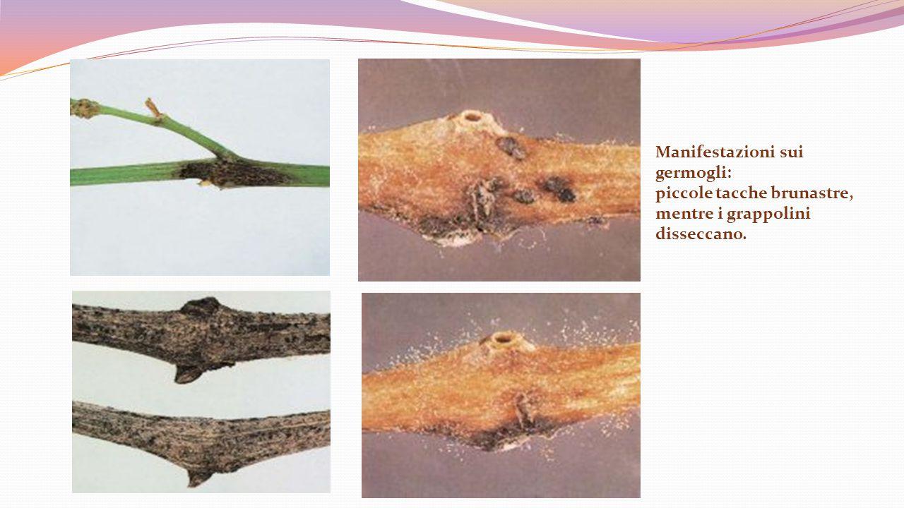 Manifestazioni sui germogli: piccole tacche brunastre, mentre i grappolini disseccano.