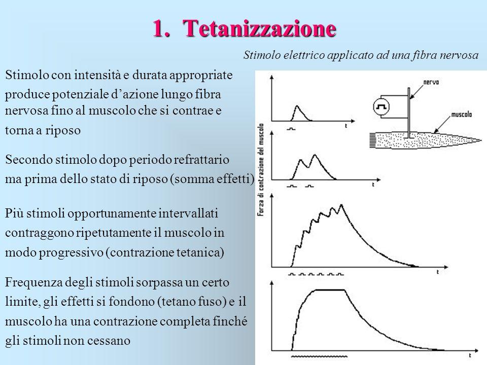 1. Tetanizzazione Stimolo elettrico applicato ad una fibra nervosa Stimolo con intensità e durata appropriate produce potenziale d'azione lungo fibra