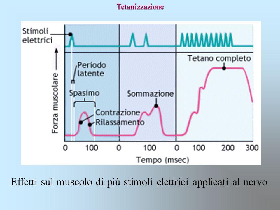 Tetanizzazione Effetti sul muscolo di più stimoli elettrici applicati al nervo