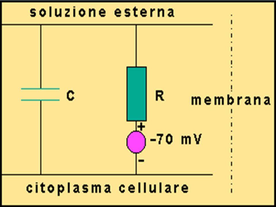 Ingrandimento del tessuto cellulare Due canali (uno in funzione con la cellula a riposo mentre l'altro solo con la cellula eccitata) permettono il passaggio preferenziale del potassio Il terzo permette il passaggio del sodio (in seguito all'eccitamento della cellula) Questo passaggio continuo di ioni carica positivamente l'ambiente extracellulare, mentre l'ambiente intracellulare perde cariche positive e quindi si carica negativamente.