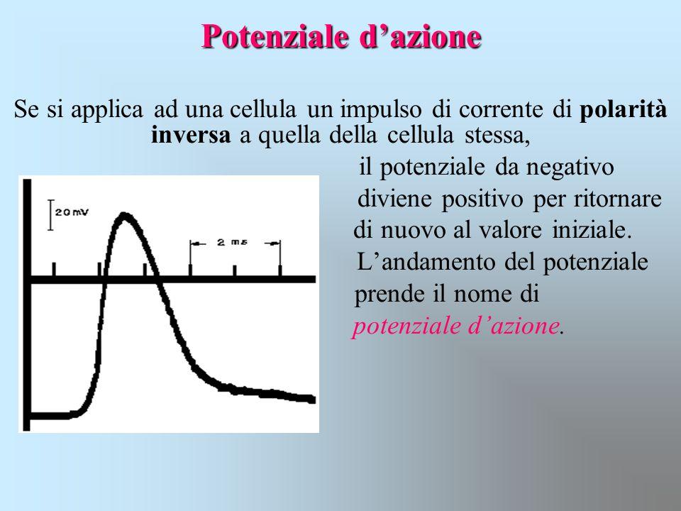 Potenziale d'azione Se si applica ad una cellula un impulso di corrente di polarità inversa a quella della cellula stessa, il potenziale da negativo d