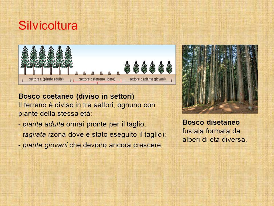Silvicoltura Bosco coetaneo (diviso in settori) Il terreno è diviso in tre settori, ognuno con piante della stessa età: - piante adulte ormai pronte p