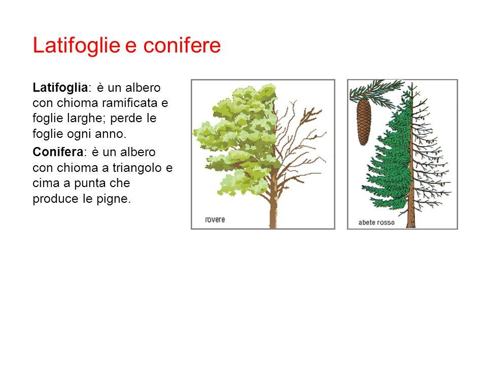 Latifoglie e conifere Latifoglia: è un albero con chioma ramificata e foglie larghe; perde le foglie ogni anno. Conifera: è un albero con chioma a tri