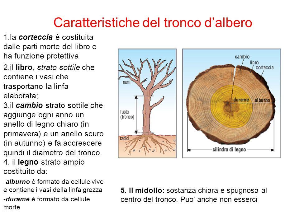 Caratteristiche del tronco d'albero 1.la corteccia è costituita dalle parti morte del libro e ha funzione protettiva 2.il libro, strato sottile che co
