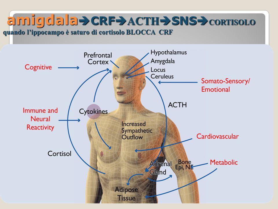 l'amigdala, collocata all'interno della porzione mediale del lobo temporale, adiacente all'ippocampo, con la corteccia prefrontale posta anteriormente.