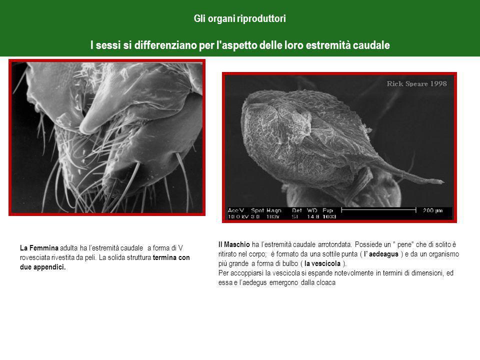 Gli organi riproduttori I sessi si differenziano per l aspetto delle loro estremità caudale La Femmina adulta ha l'estremità caudale a forma di V rovesciata rivestita da peli.