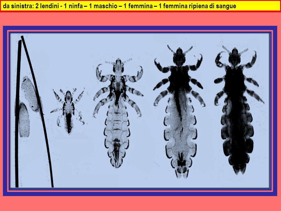 da sinistra: 2 lendini - 1 ninfa – 1 maschio – 1 femmina – 1 femmina ripiena di sangue