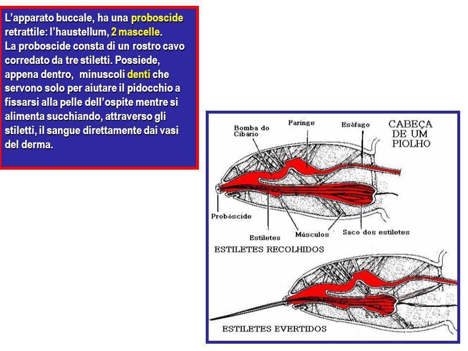 L'apparato buccale, ha una proboscide retrattile: l'haustellum, 2 mascelle.