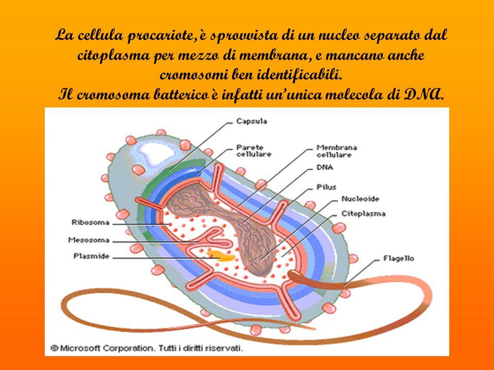 La cellula procariote, è sprovvista di un nucleo separato dal citoplasma per mezzo di membrana, e mancano anche cromosomi ben identificabili.