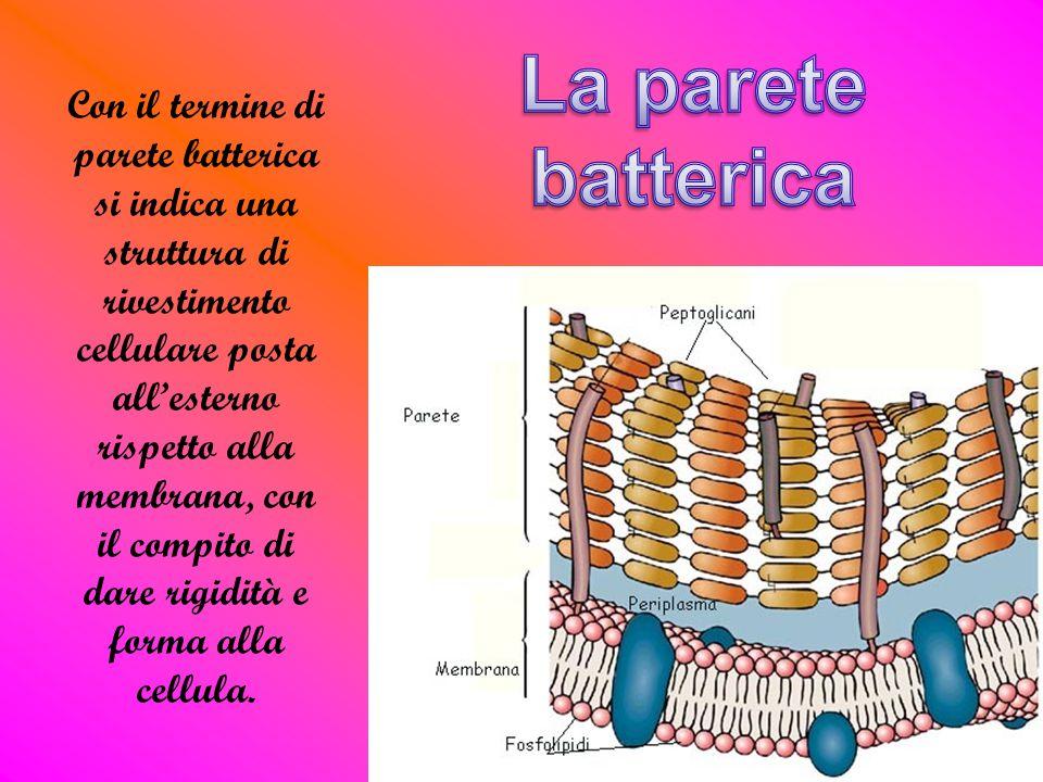 Con il termine di parete batterica si indica una struttura di rivestimento cellulare posta all'esterno rispetto alla membrana, con il compito di dare