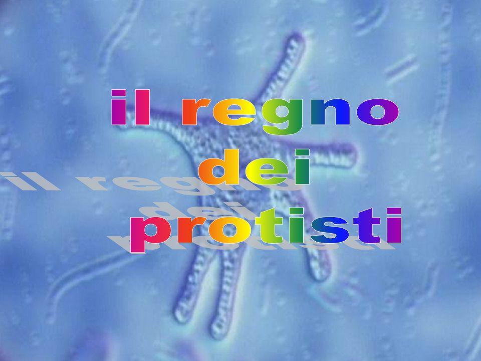 Questo Regno comprende sia organismi eterotrofi, come i protozoi, sia autotrofi, come le alghe unicellulari e pluricellulari.