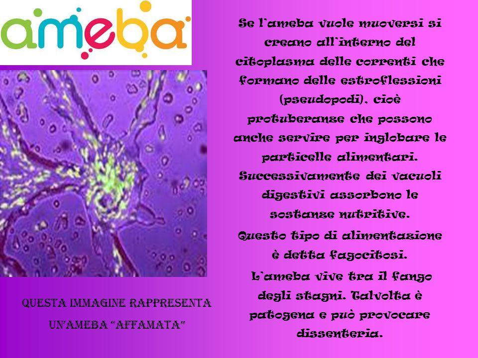 Se l'ameba vuole muoversi si creano all'interno del citoplasma delle correnti che formano delle estroflessioni (pseudopodi), cioè protuberanze che possono anche servire per inglobare le particelle alimentari.