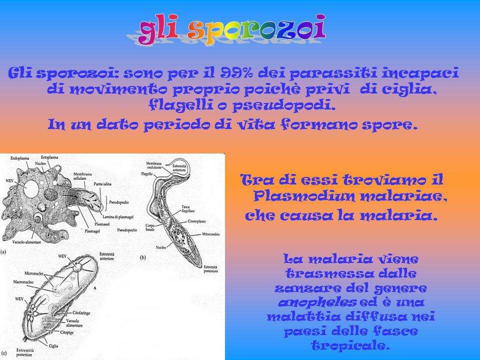 Gli infusori sono fra i protozoi più evoluti, fra questi vi sono i ciliati.