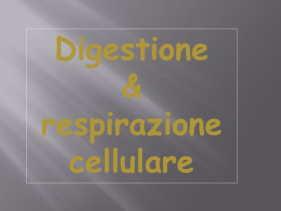 Digestione & respirazione cellulare
