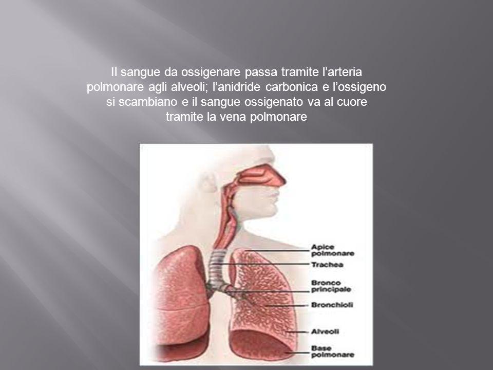 Il sangue da ossigenare passa tramite l'arteria polmonare agli alveoli; l'anidride carbonica e l'ossigeno si scambiano e il sangue ossigenato va al cu