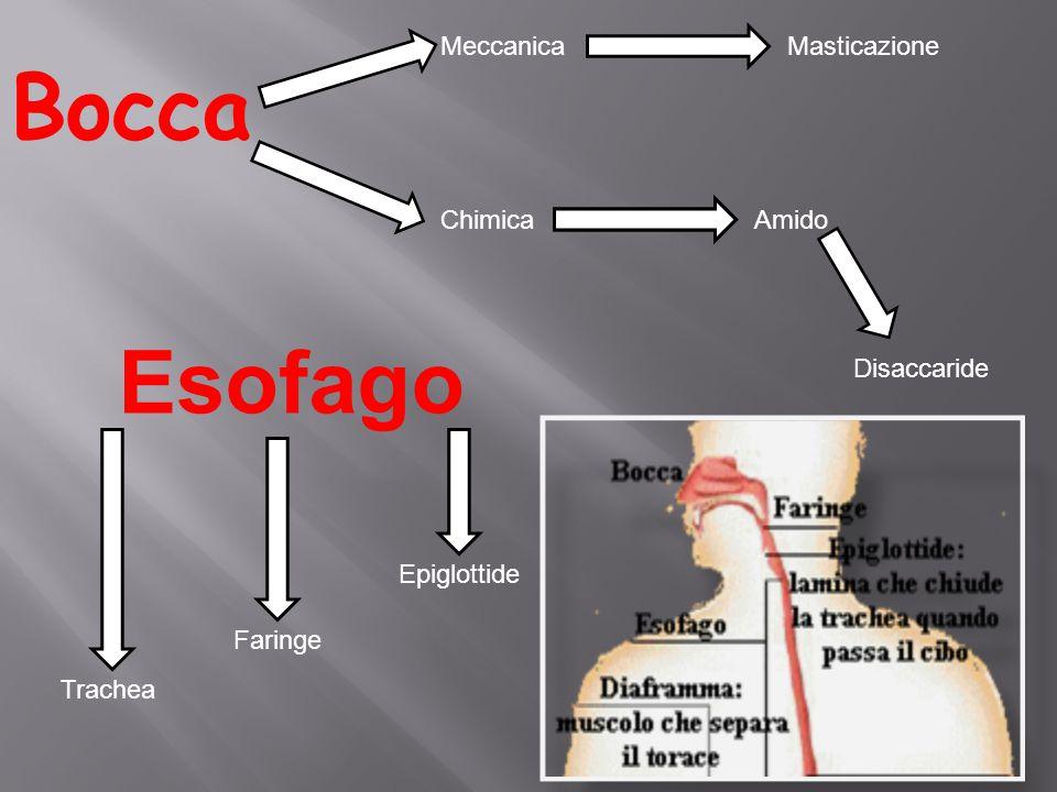 Bocca MeccanicaMasticazione ChimicaAmido Disaccaride Esofago Epiglottide Faringe Trachea