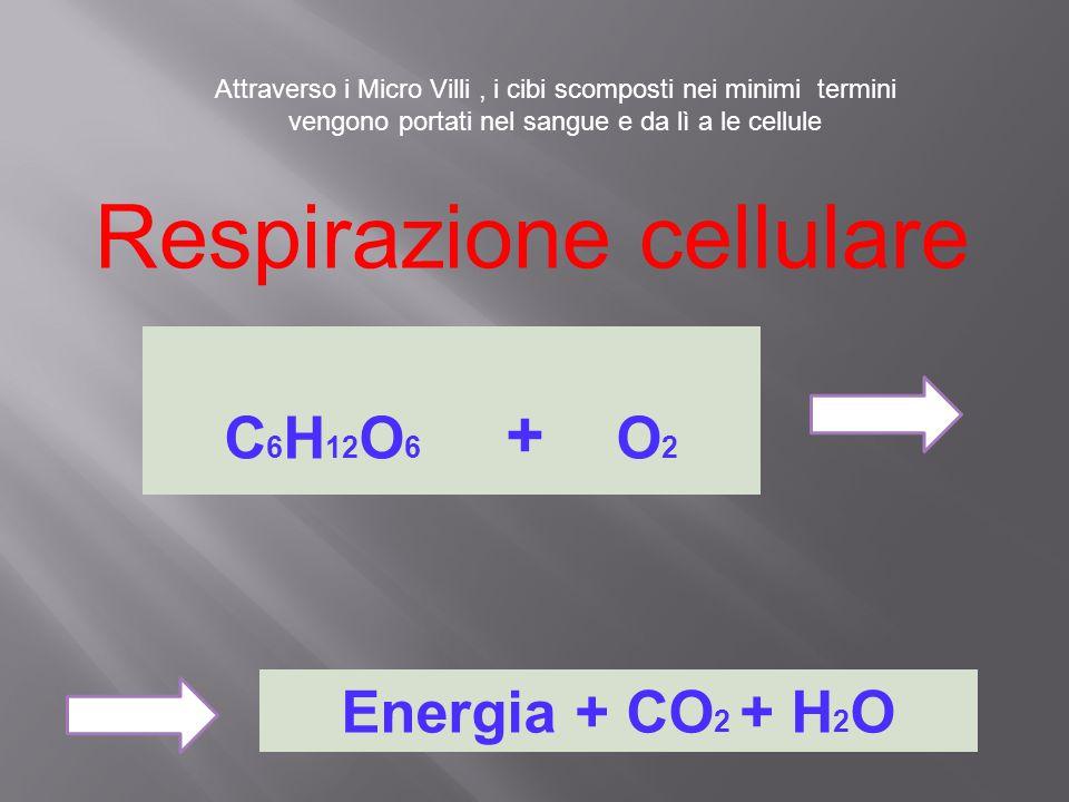 Attraverso i Micro Villi, i cibi scomposti nei minimi termini vengono portati nel sangue e da lì a le cellule Respirazione cellulare C 6 H 12 O 6 + O