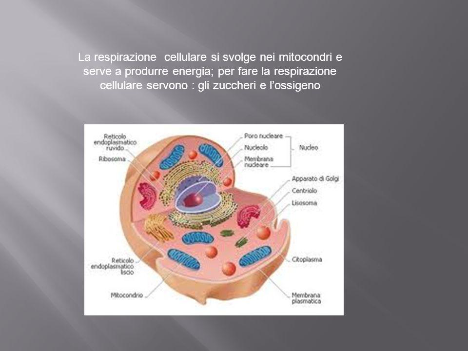 IL Cuore Parte destra (sangue con CO2) Parte sinistra (sangue con O2) AtrioVentricolo AtrioVentricolo