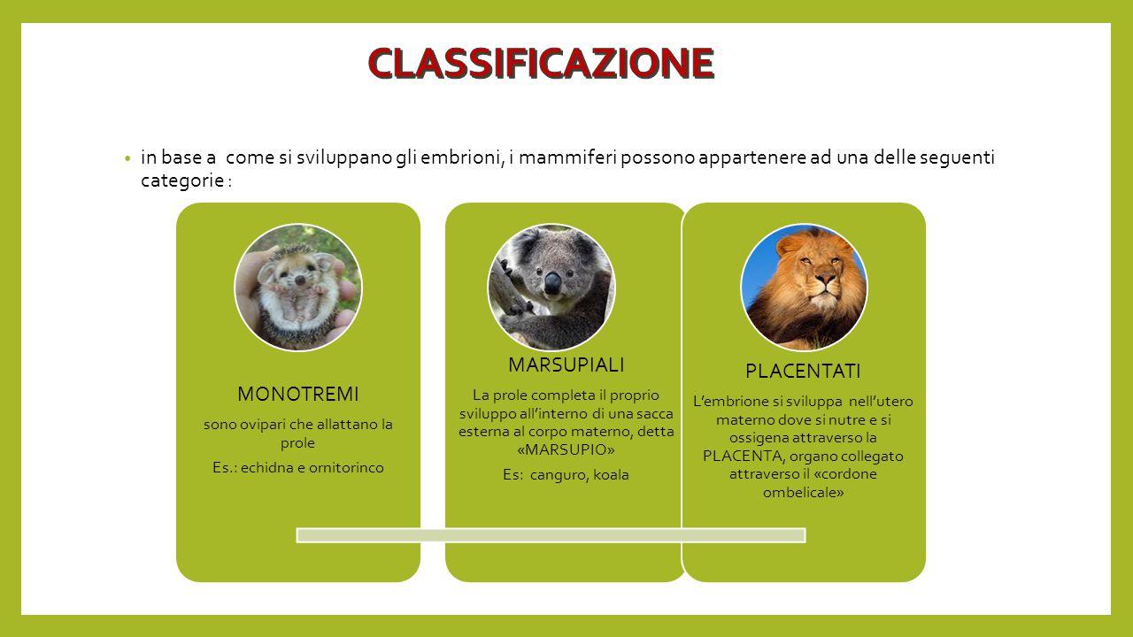 in base a come si sviluppano gli embrioni, i mammiferi possono appartenere ad una delle seguenti categorie : MONOTREMI sono ovipari che allattano la p