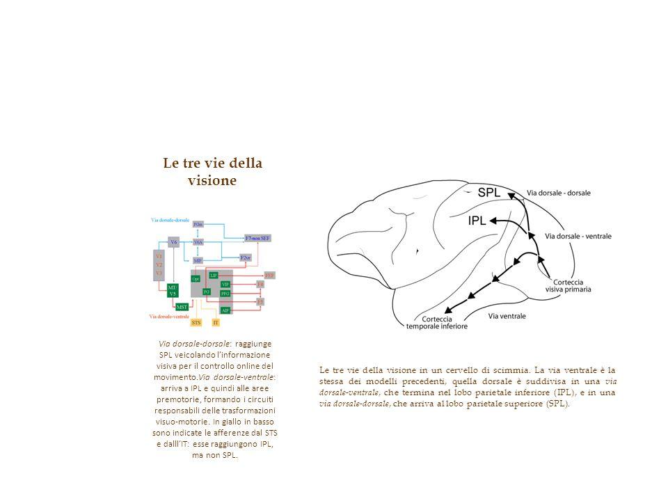 Le tre vie della visione in un cervello di scimmia. La via ventrale è la stessa dei modelli precedenti, quella dorsale è suddivisa in una via dorsale-